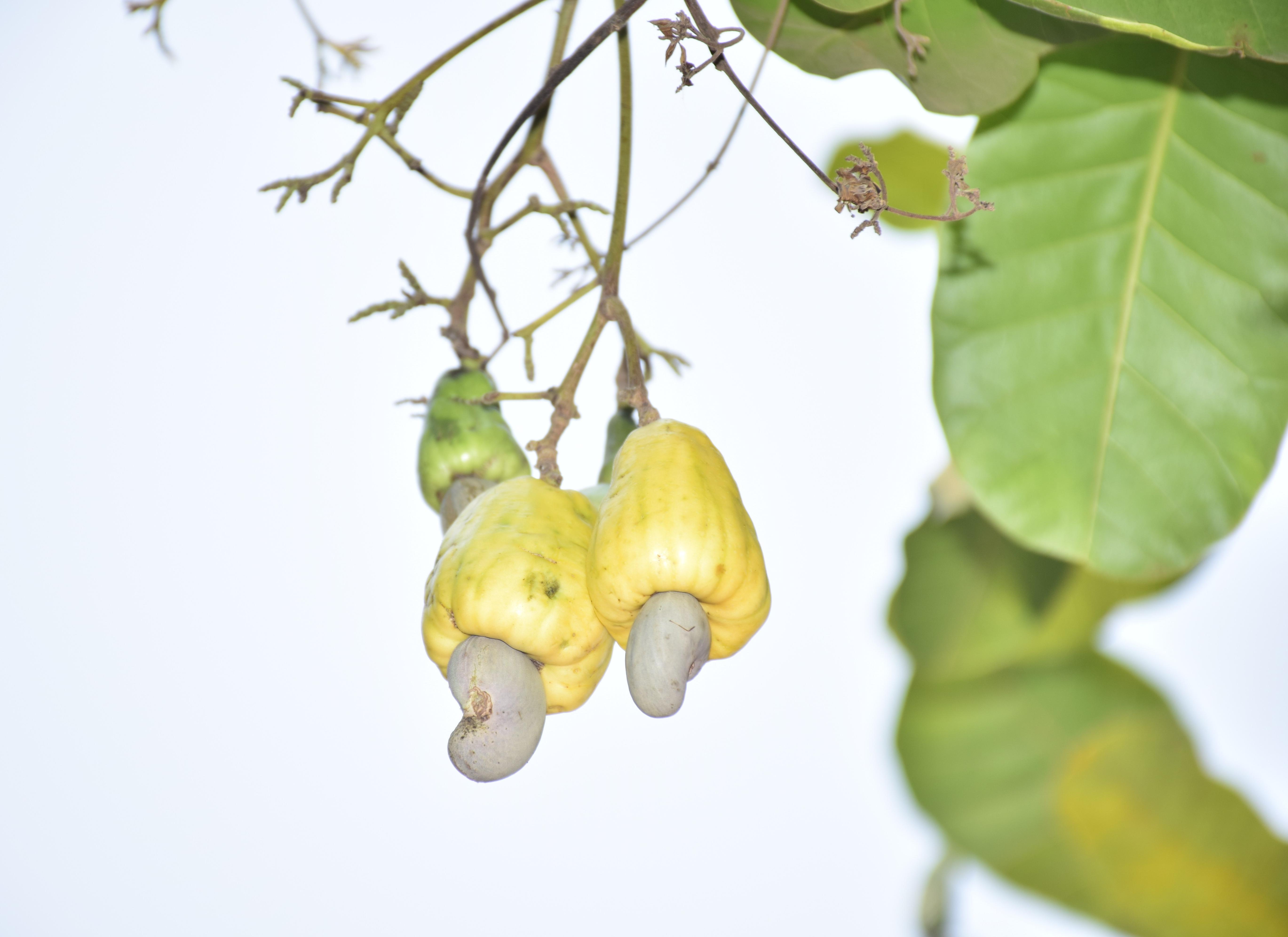 cashew-nut-ratanakiri-44.jpg