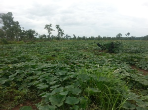 Pumpkin planted by a farmer along the road from Preah Vihear to Siem Reap